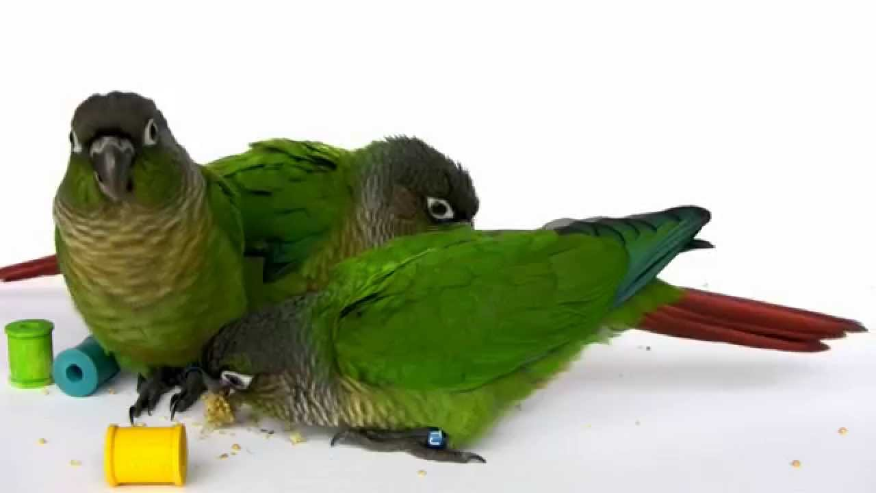 7 Week Old Baby Green Cheek Conure Parrots Youtube