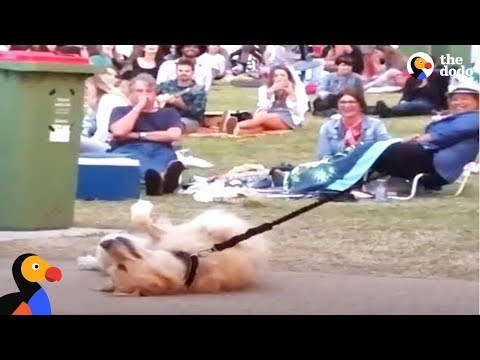Thumbnail: Dog PLAYS DEAD to Avoid Going Home While Park Crowd Watches | The Dodo