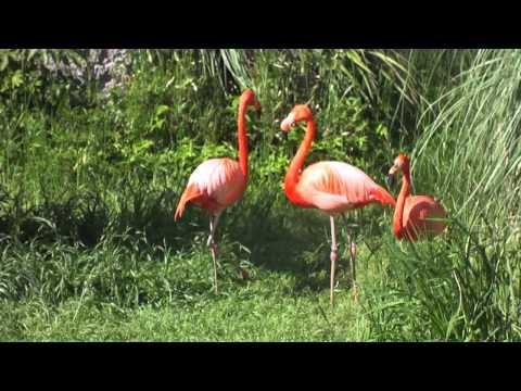 赤いフラミンゴ Red flamingo