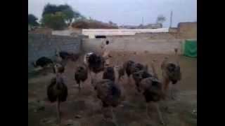 Fazal Ostrich Farm Pakistan (Gujrat)2