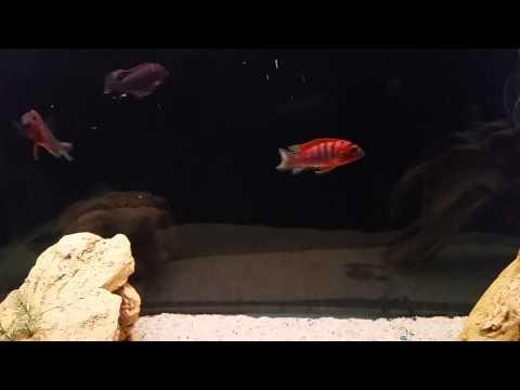 Super red top hongi female