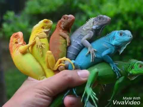 Rồng Nam Mỹ