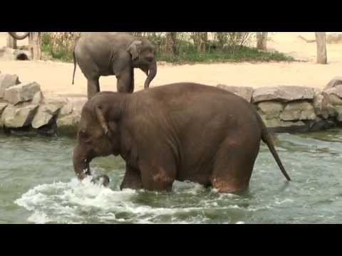 Kleiner Elefant versucht Babyelefant ins Wasser zu locken