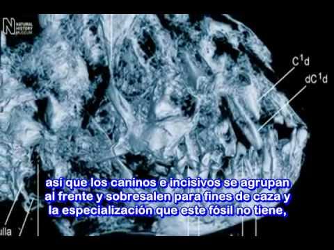 Aclaración del Significado de Ida o Darwinius Masillae. Museo de Historia Natural. Evolución