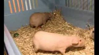 Морская свинка, порода скинни(Очаровательные голые или лысые морские свинки покорили сердца миллионов россиян. Историю происхождения,..., 2009-12-23T20:22:02.000Z)