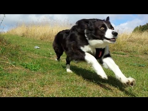 So What Makes a Border Collie ?