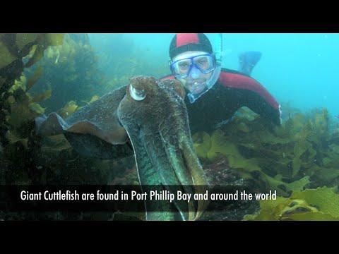 Giant Cuttlefish, Port Phillip Bay, Australia