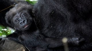 上野動物園ではニシローランドゴリラのモモコが4年ぶりに出産。モモコ...