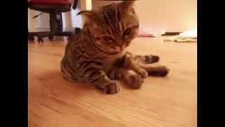 Смешное видео. Пьяный кот. Смотреть всем смешное видео про кота!!!