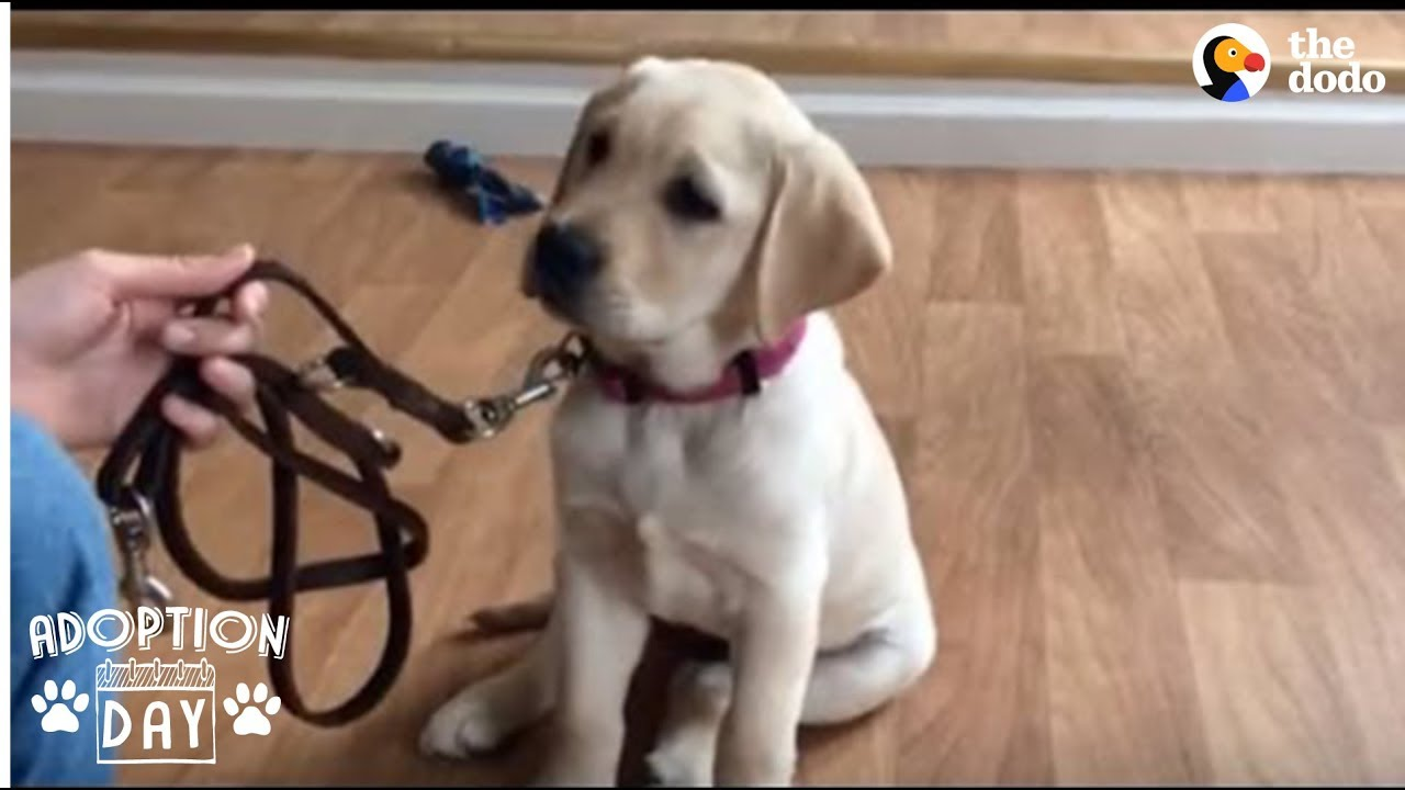 guide-dog-gets-so-excited-when-she-sees-her-new-home-smudge-the-dodo-adoption-day