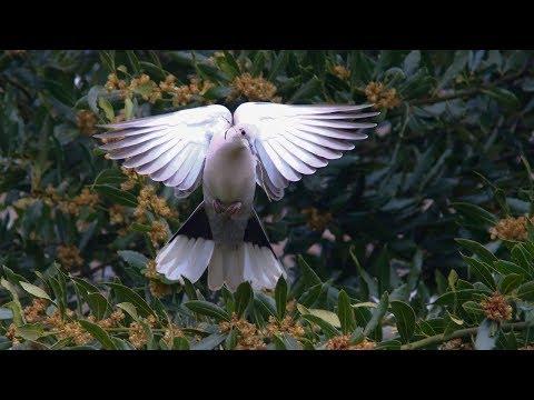 chants & cris de la tourterelle turque / song & call collared dove