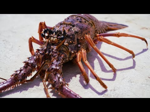 RARE Purple Lobster Found! Catch Clean Cook- Florida Spiny Lobster