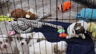 Coton Puppies For Sale - Kiwi 2/9/21