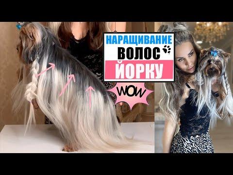 Йоркширский терьер наращивание волос | ПОРОДЫ СОБАК