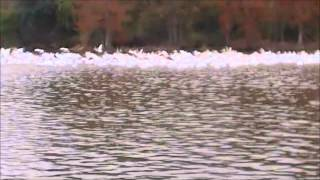 The Louisiana State Birds Filmed By Me 12/3/14