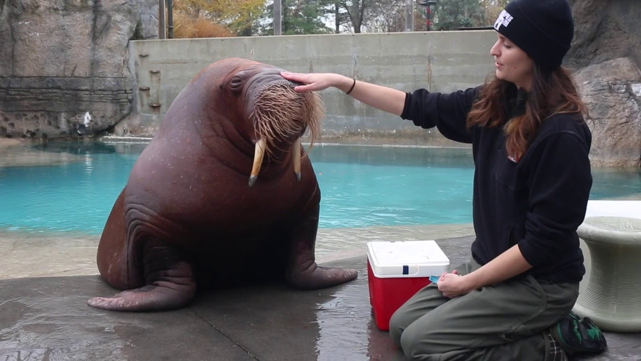 training time with our walrus youtube