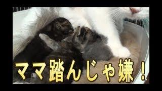 【猫好き】ママ、踏んじゃ嫌!(マンチカン)《funny cats》