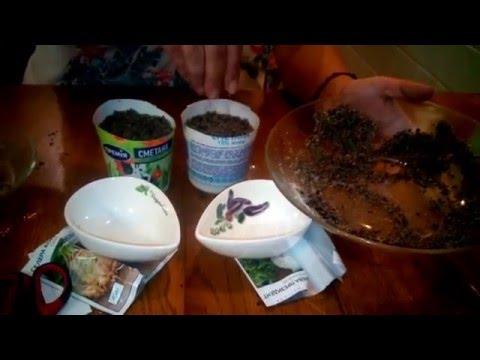 Посев сельдерея на рассаду. Выращивание черешкового сельдерея