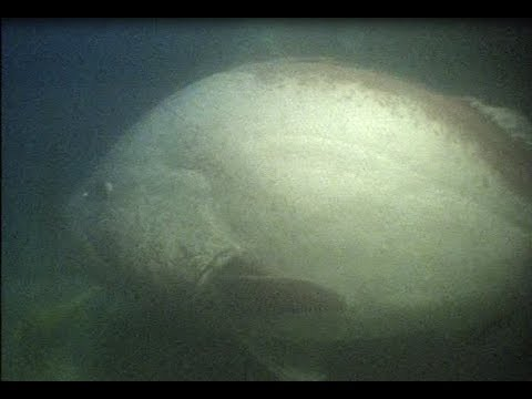 Divers have scary jobs... giant grouper encounter