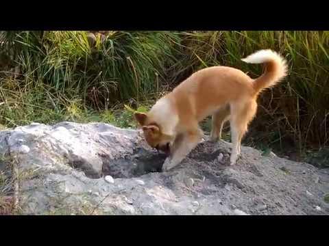 Funny Dog Dancing and Digging