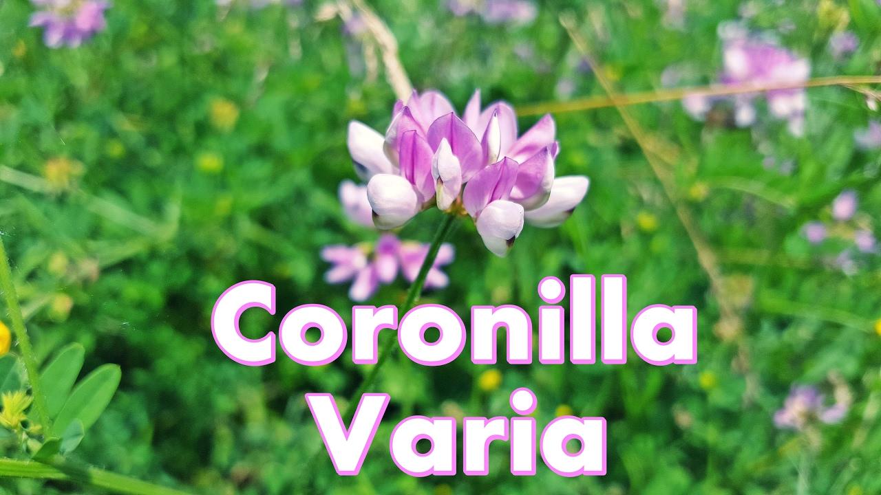 Coronilla varia beautiful purple crown vetch flower youtube coronilla varia beautiful purple crown vetch flower izmirmasajfo