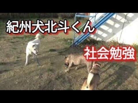 紀州犬北斗くん 犬社会のお勉強 Dog Rescue
