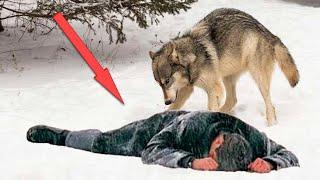Волк заставил рыдать всю деревню, когда привез еле живого хозяина к дому из последних сил