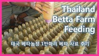 Thailand betta farm feeding /태국 베타농장 베타 1만마리 사료주기