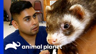 Lazy Ferret Gets His Nails Cut | Dr. Jeff: Rocky Mountain Vet