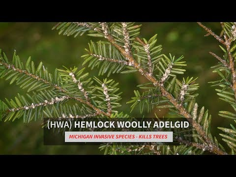 Image result for hemlock woolly adelgid ingham conservation district