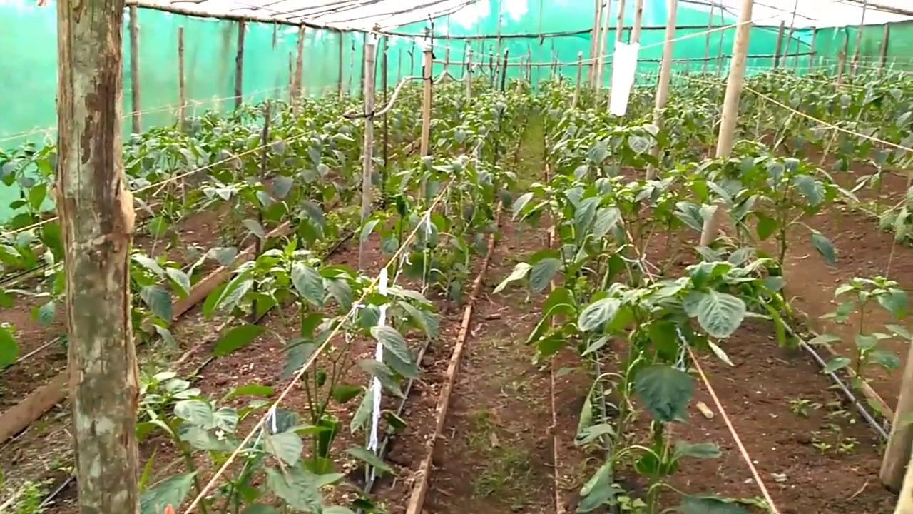 Invernadero El Paraíso Cultivo Chile Dulce Youtube
