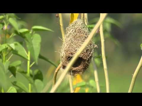 Nikon Coolpix P900 - Bird Watch - Nest of Indian Weaver