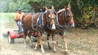 Breaking Mules Woodbury Tenn.  Part 2