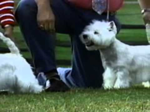 West Highland White Terrier - Chapter 1