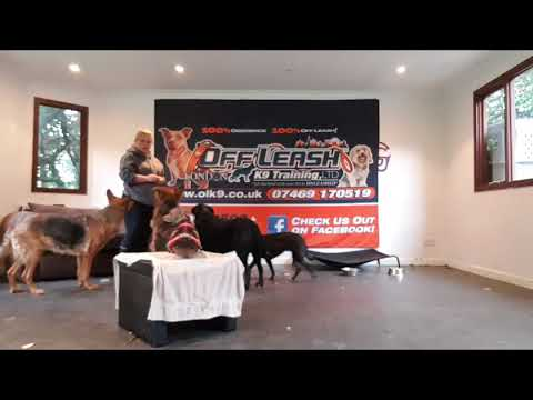 3.5 year old Italian Greyhound, Marvin! London dog training