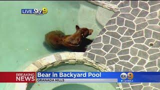 Bear Takes a Swim In a Backyard Pool In Granada Hills