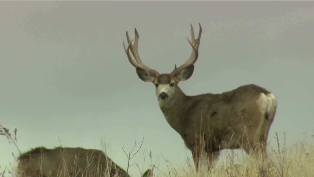 Montana wildlife official says poaching is