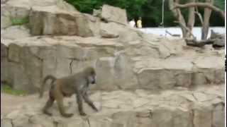 Zoo Wroclaw - Pawiany Masajskie (Yellow Baboon)