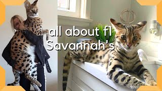 Savannah Cat : The Most Expensive Pet in the world / Largest cat breed F1 Savannah (2020)