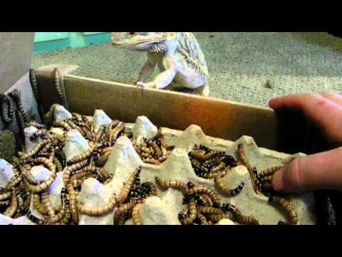 Trogdor (bearded dragon) Helps Unbox Superworms