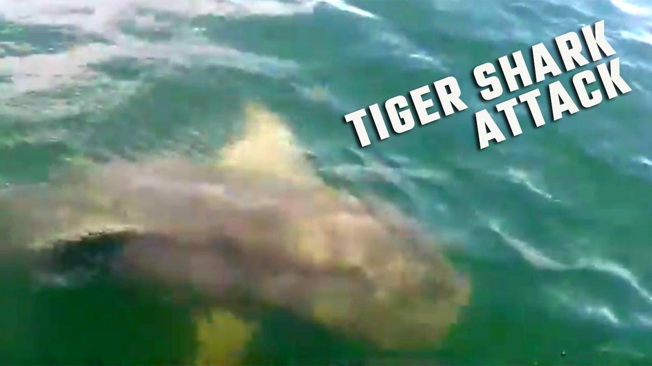 Tiger shark bites boat during alabama deep sea fishing for Alabama deep sea fishing