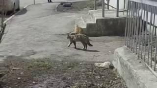 Два кота дерутся! (слабонервным не смотреть)