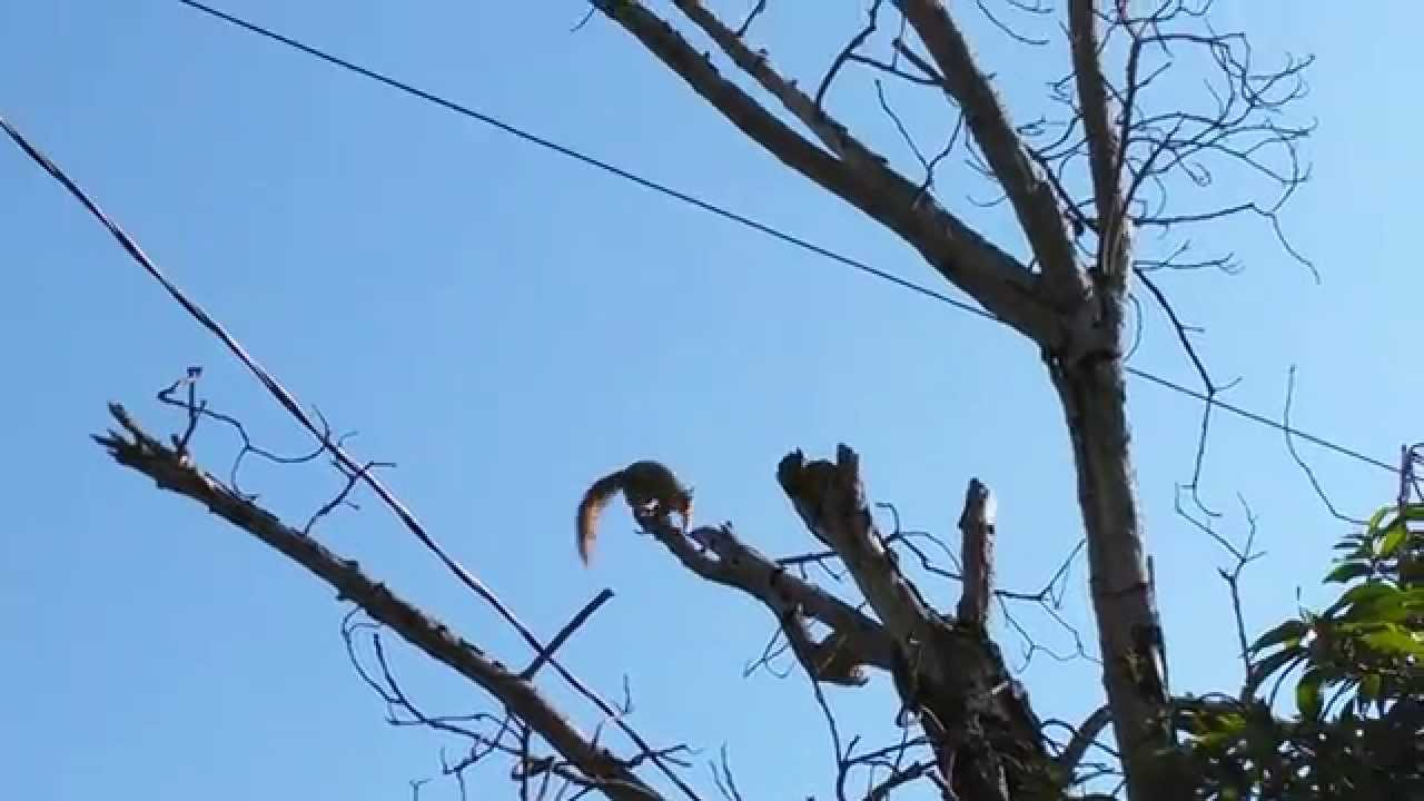 Flying squirrel in action video - YouTube