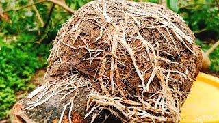 @Cắt cành cây nhãn chiết cỡ lớn, cách trồng cây nhãn chiết hiệu quả cao nhất !
