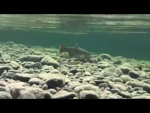 Campbell river freshwater fishing trips and guides youtube for Massachusetts freshwater fishing license