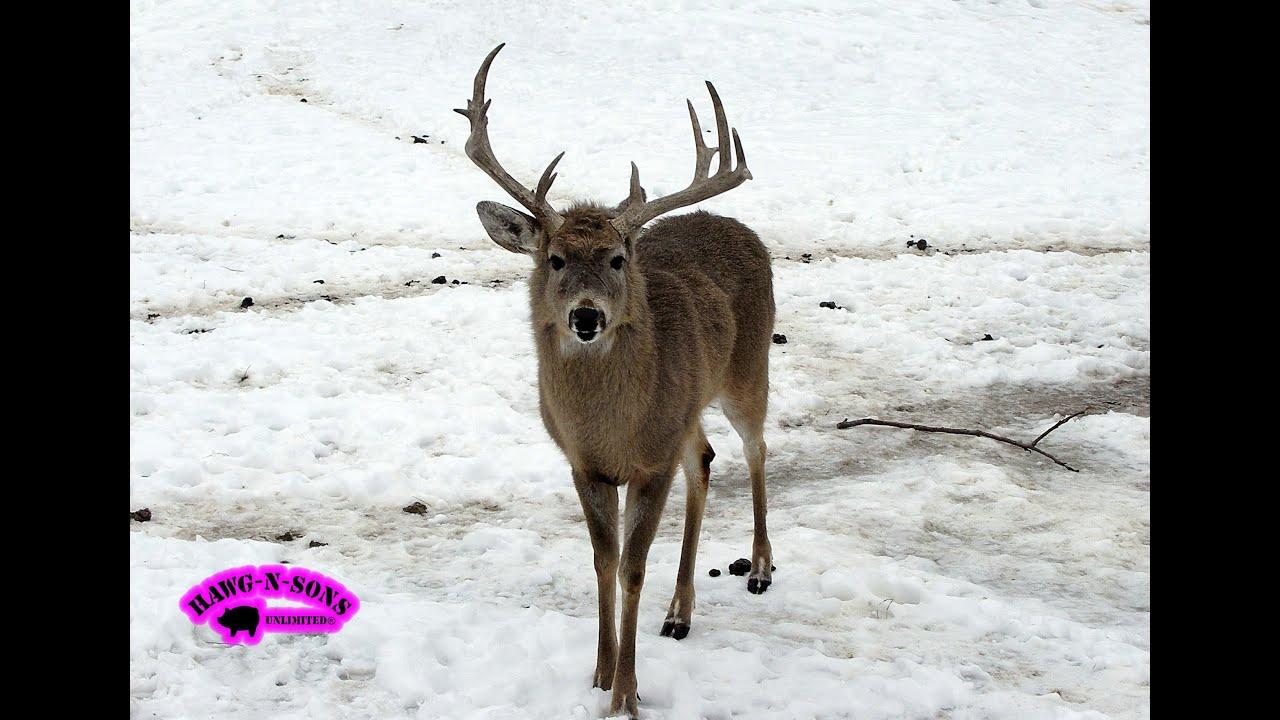 Hunting BIG Winter Whitetail Deer December - HawgNSonsTV ...