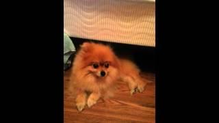 Pomeranian Barking