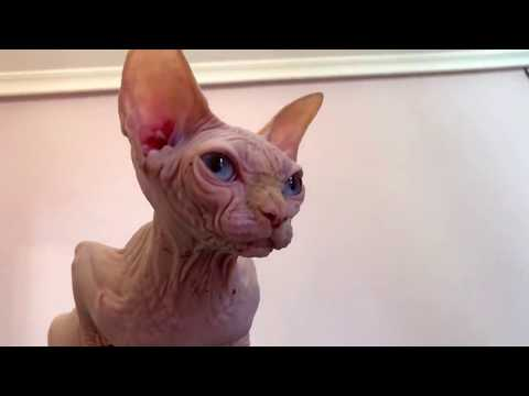 Butterflies ENERGY female Sphynx- cat www.Sphynx.TV