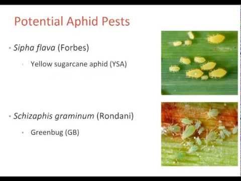 Aphid Resistance in Switchgrass   CenUSA Bioenergy