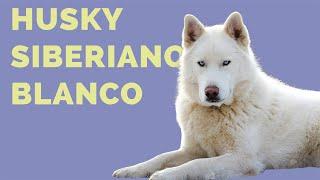 9 datos que NO SABÍAS sobre el HUSKY SIBERIANO BLANCO (Lobo Siberiano Albino)